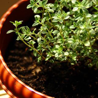 Weekend Herb Blogging: Lemon Thyme